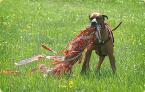 Coursing pre všetky psie plemená