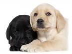 Tieto fakty zvážte skôr ako si zadovážite šteniatko