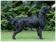 Flat coated retriever - pes Gargamel Oasis of Peace z CHS