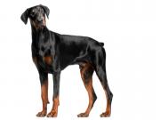 Pes strážca