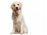 Pes aportér