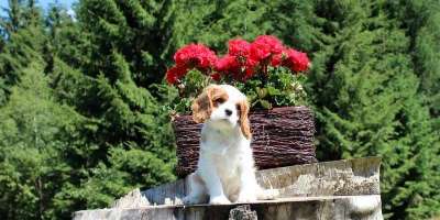 ,Krásne a zdravé šteniatka Cavalier King Charles spaniel s PP