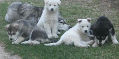 ,Aljašský malamut