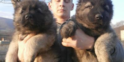 ,Kaukazský ovčiak s pp FCI