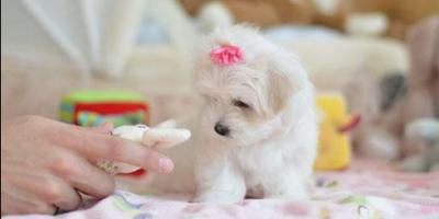 ,maltskej šteňatá