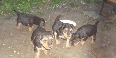 ,Predám šteniatka welsh terrierov