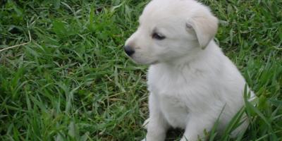 ,Predám krásne šteniatka krížené labrador a vlčiak