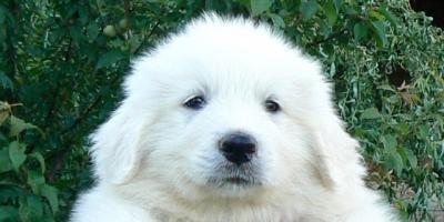,Pyrenejský horský pes