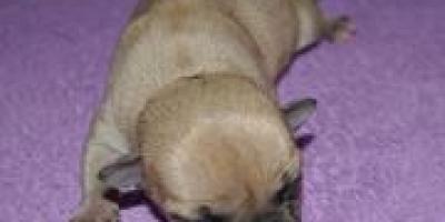 ,Čivava-šteniatka