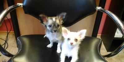 ,Chihuahua
