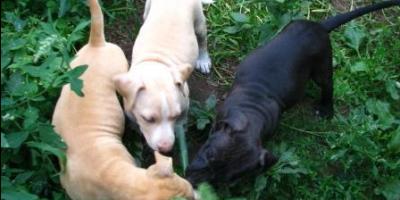 ,Americky staffordshirsky terier