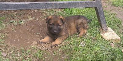 ,predám šteniatka nemeckého ovčiaka