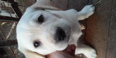 ,šteniatka labradora