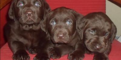 ,čokoládový / hnedý labrador