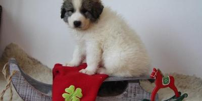 ,Pyrenejský horský pes - šteniatka