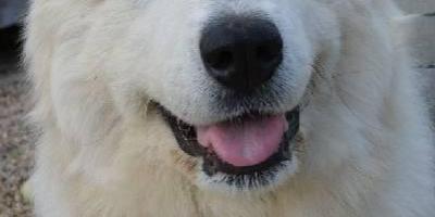 ,Pyrenejský horský pes s PP – unikátní nepříbuzné krytí