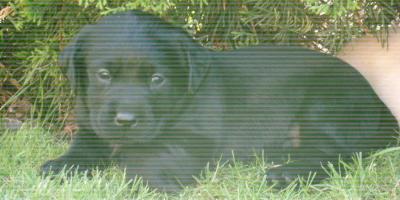 ,Predám šteniatko Labrador Retrievera