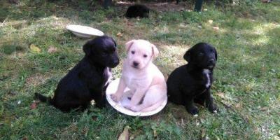 ,Darujem šteniatka kríženca labradora :)