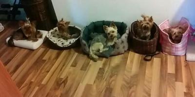,Opatrovanie psikov malých plemien