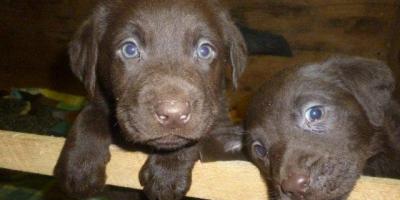 ,Labrador čokoládový