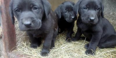 ,Labrador šteniatka