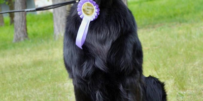 , Flat Coated Retriever