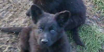 ,Nemecký ovčiak-čierne šteniatka