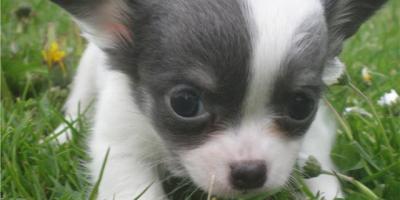 ,Čivava krátkosrstá biela - mini šteňatá TOP