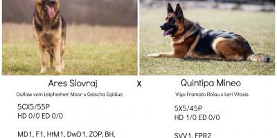 ,Nemecký ovčiak - šteniatko s PP