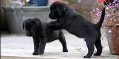 ,Labradorský retrívr na prodej bez PP