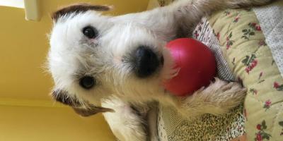 ,Parson Russell Terrier na krytie