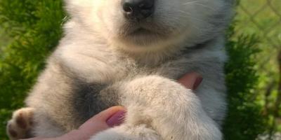 ,Aljašsky malamut