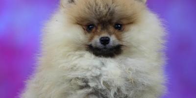 ,Pomeranian Boo psík