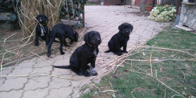 ,Strazny pes/Cesky fuzac/Labrador