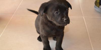 ,Darujem šteniatka Labradora