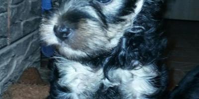 ,Strieborny yorkshiersky terier mini