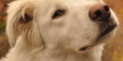 ,Nádherný 1-ročný psík