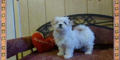 ,Maltézský psík s PP FCI
