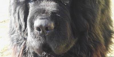 ,Novofundlandský pes