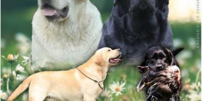 ,Labradorský retriever