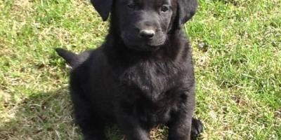 ,Čistokrvné labradorky čierne