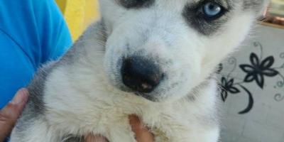 ,Sibirský husky