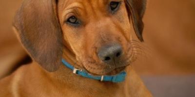 ,Rhodézsky ridgeback - šteniatko
