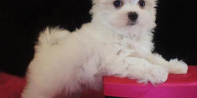 ,Maltezak,šteniatka mini