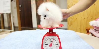 ,Roztomilé pomeranské štěně