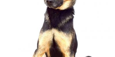,ALEX prekrásny mladý mini x nemecký ovčiak
