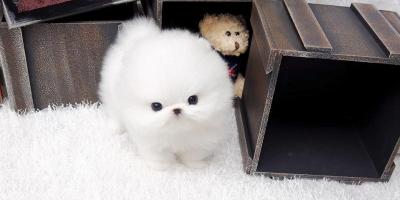 ,Pomeranian štěňata pro 200€ každý.