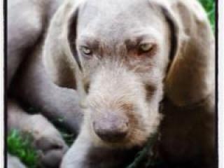 ,Predám šteniatka slovenského hrubosrstého stavača