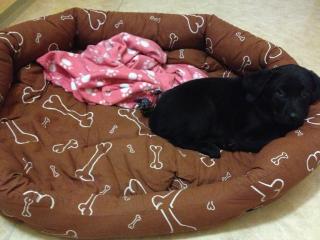 ,Krásne šteniatko labradora