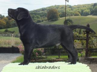 ,Labrador retriever - čierny psík s PP